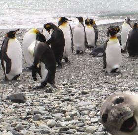 funny face by a seal penguins picture